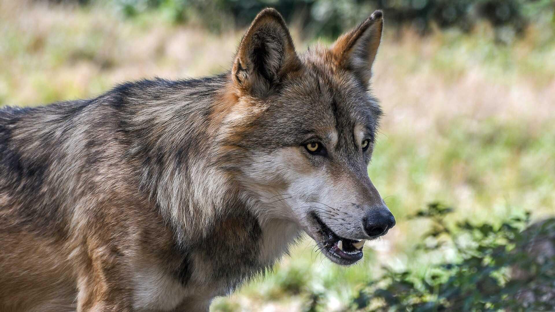 De wolf is terug in Vlaanderen