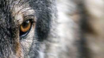 Wolf aangereden in Limburg