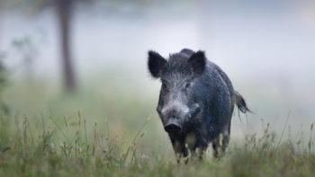 Jagers willen meer everzwijnen schieten