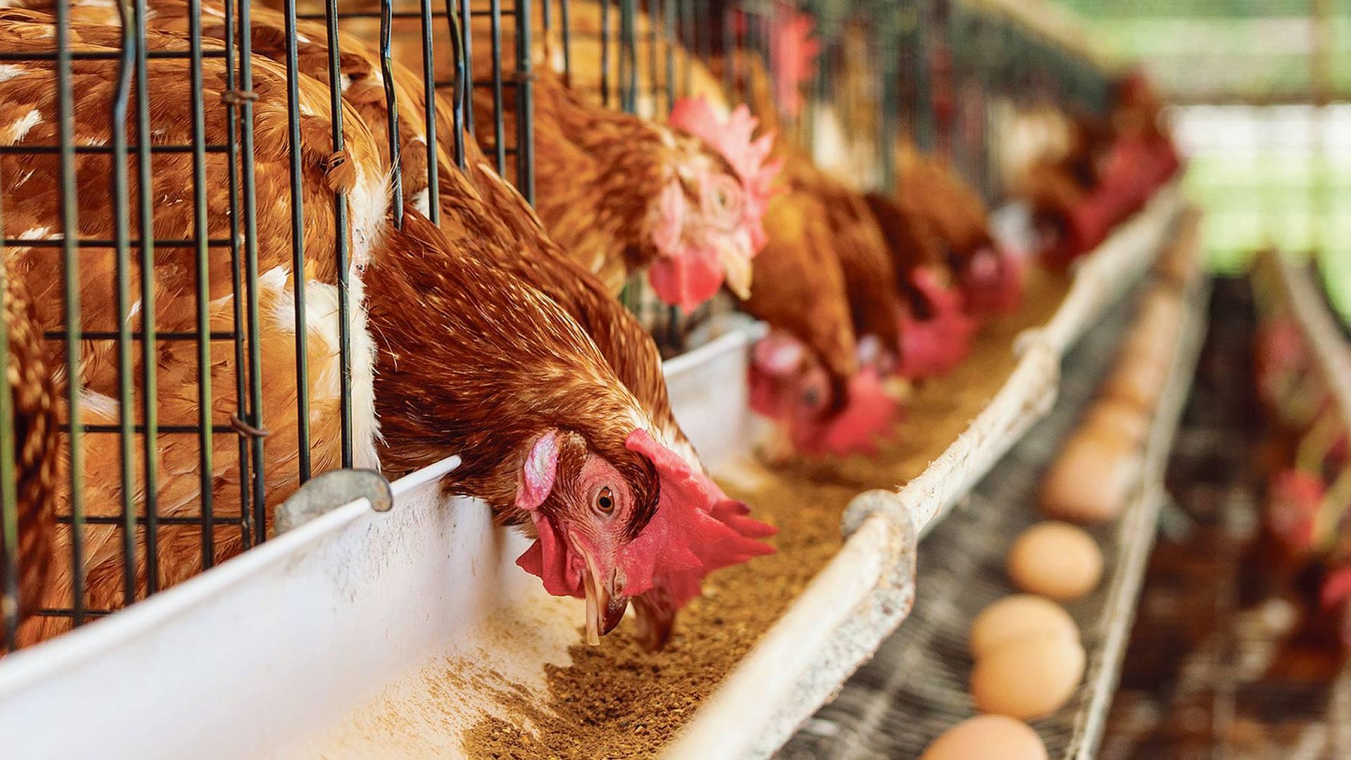 Open Vld ongerust over eventueel verbod op verrijkte kooien