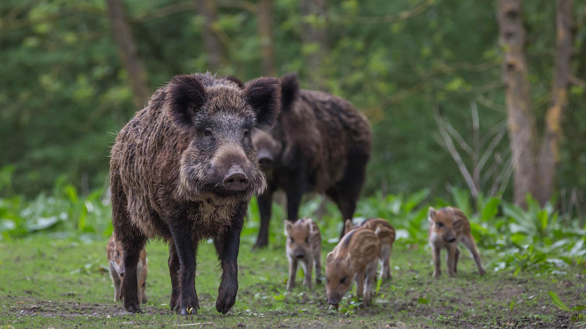 België heeft Afrikaanse varkenspest onder controle
