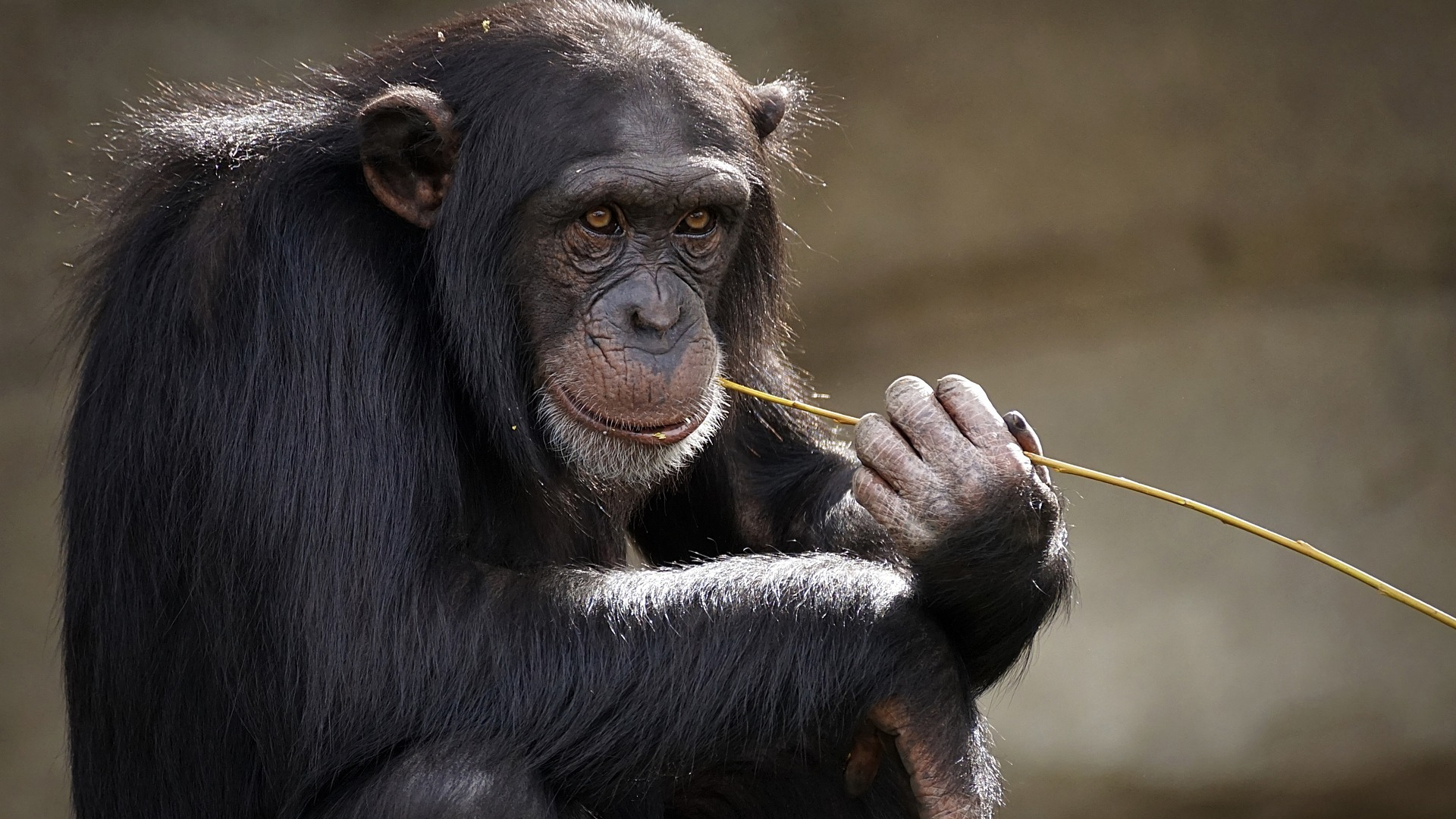 Vlaams proefdieronderzoek op wilde primaten in Kenia