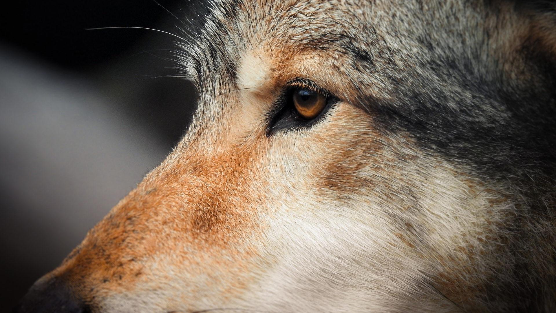 wolvin
