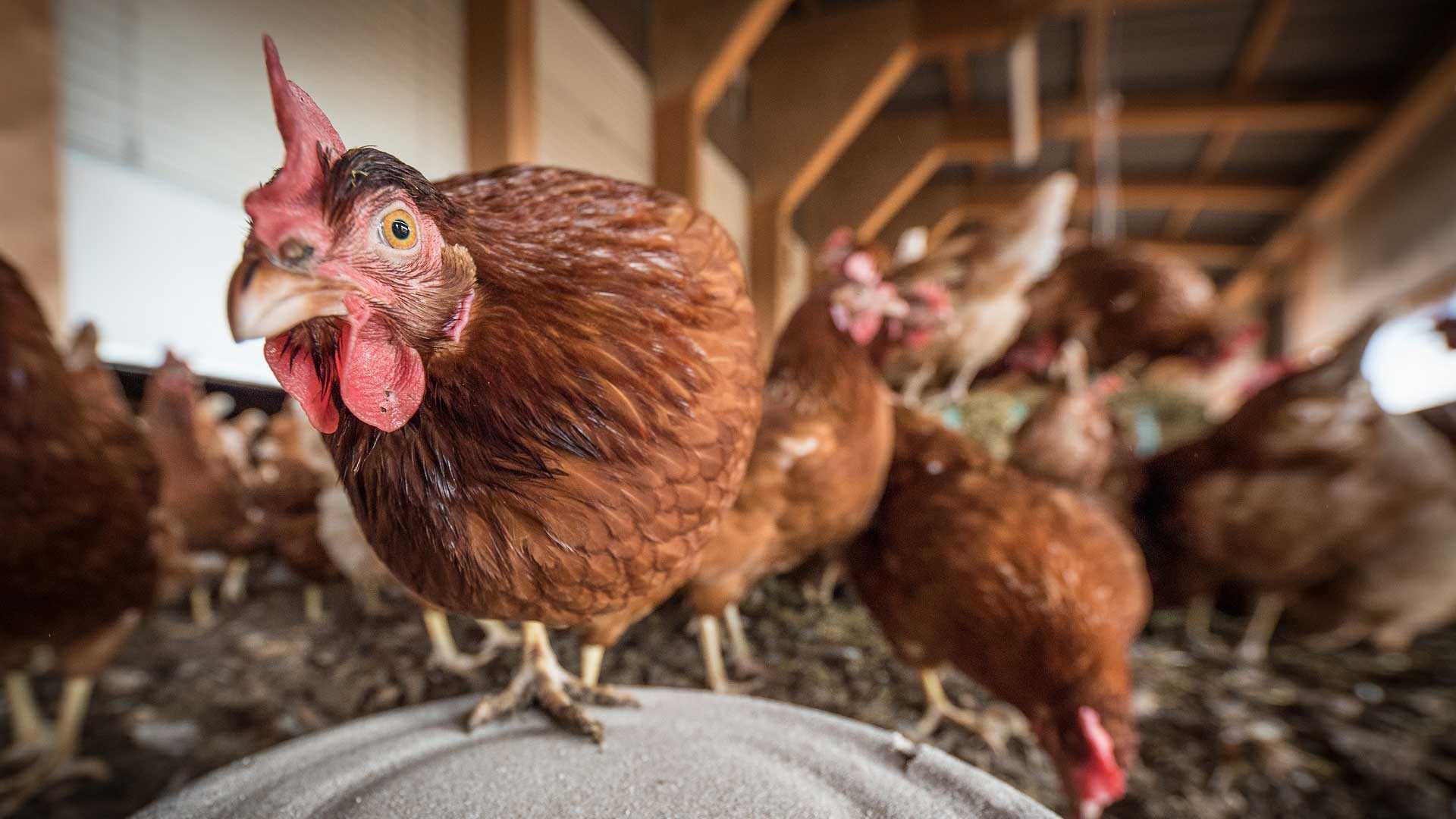 Leghennen in een kippenkwekerij
